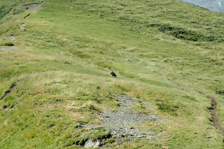 Un vautour.