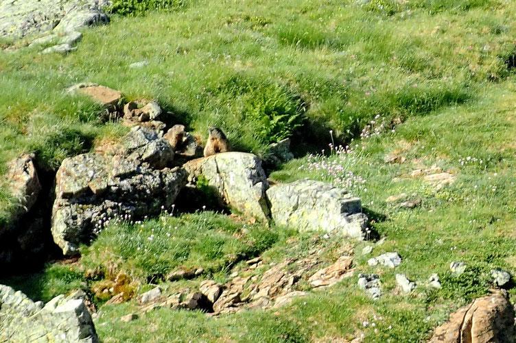 Des marmottes prenent le soleil... Le fond de l'air est assez frais et le petit vent, pas très chaud...