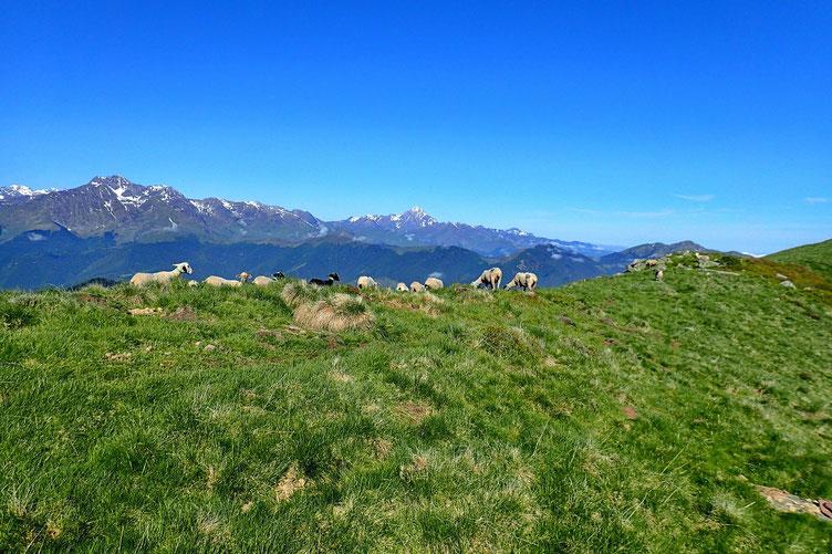 Arrivée sur la crête, des moutons... tout juste montés à l'estive.