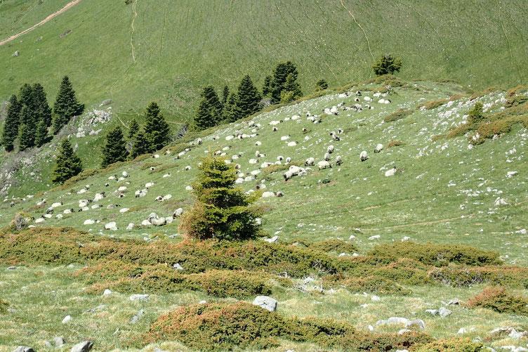 A ma gauche, les moutons fraichement arrivés.