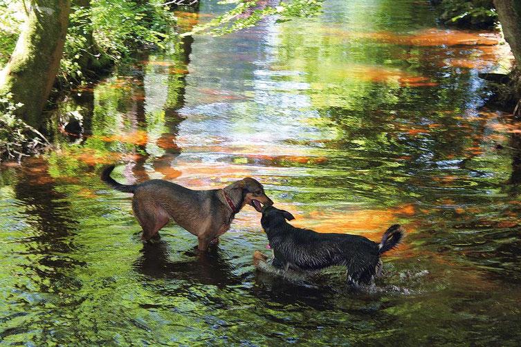 Bild: Zwei Hunde baden im Hackenseebach
