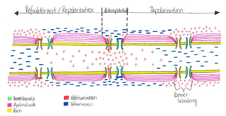 Abb. 2: Saltatorische Erregungsweiterleitung am Axon