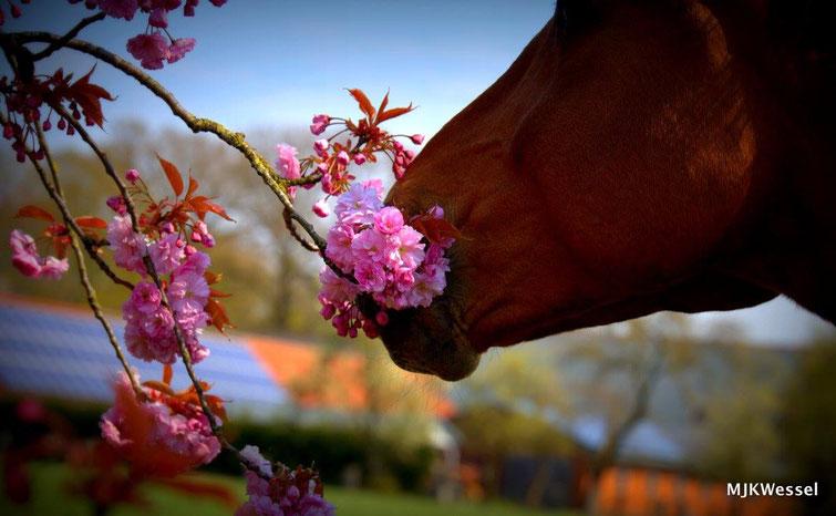 Blütenpferd