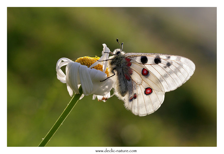 Apollon - Parnassius apollo (réf. PdM 2015_174)