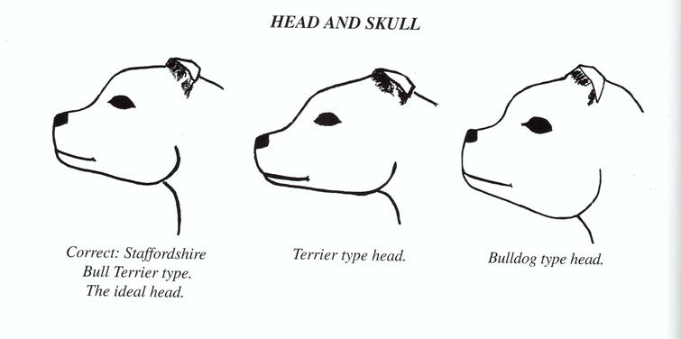 Testa Staffordshire Bull Terrier