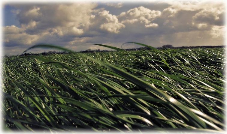 Gras, das sich im Wind wiegt