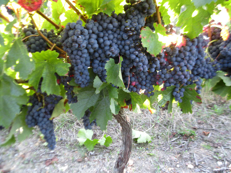Merlot Vin de Pays Charentais