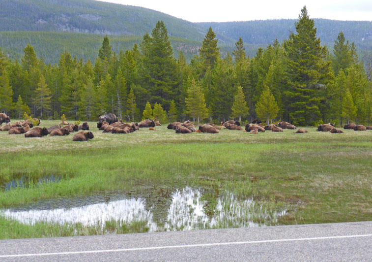Bison herd at Yellowstone