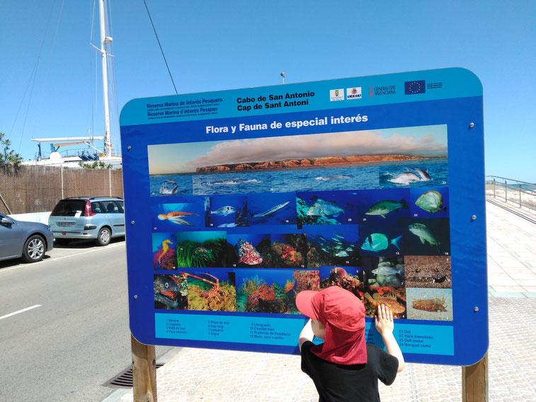 Un niño observa atento el mapa de fotos de las especies marinas que se pueden encontrar en Dénia