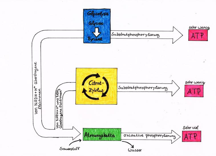 Abb.2: Teilschritte der Zellatmung (© Katharina Scheuermann)