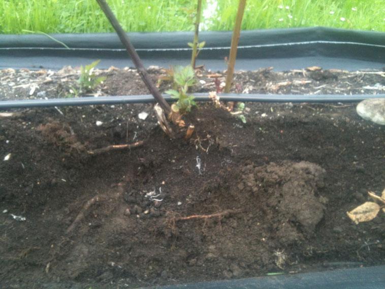 """Herbst 2012. Die Brombeeren können in diesem """"pappigen"""" Boden keine Feinwurzeln mehr bilden. Sie ersticken quasi im geschädigten Boden unter dem Bändchengewebe."""