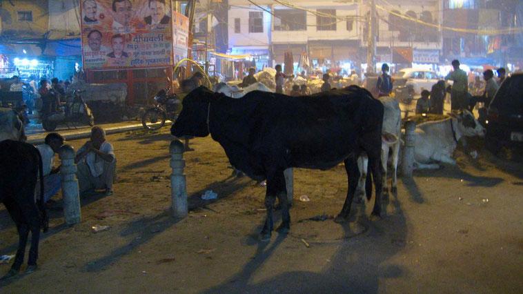 Reisebericht Indien: Kühe in Delhi, Altstadt.