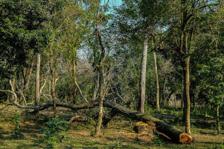 Baumschlag in Paraguay