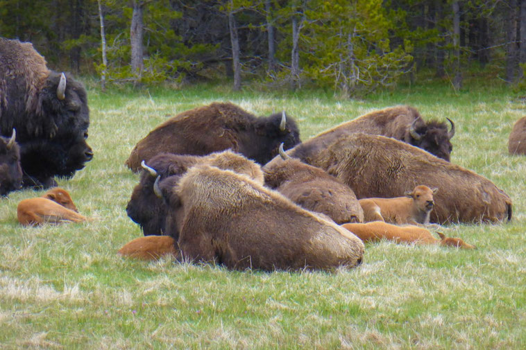Bison at Yellowstone with calves