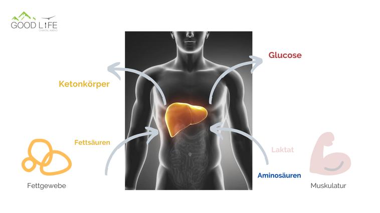 Energiebereitstellung ist die wichtigste Funktion der Leber. Dafür nutzt sie Fettsäuren aus dem Fettgewebe, sowie Aminosäuren & Laktat aus den Muskeln. Daraus werden Glucose (Gluconeogenese) & Ketonsäuren (Ketogenese) synthetisiert.