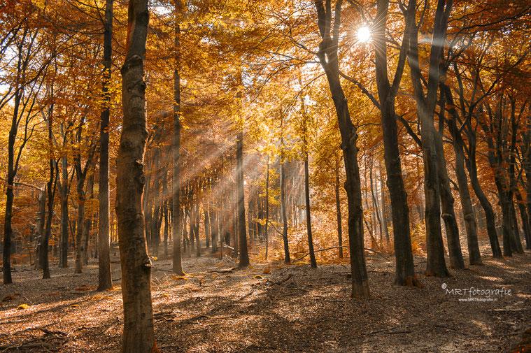 Amerongse Bos, zonneharpen in herfstbos