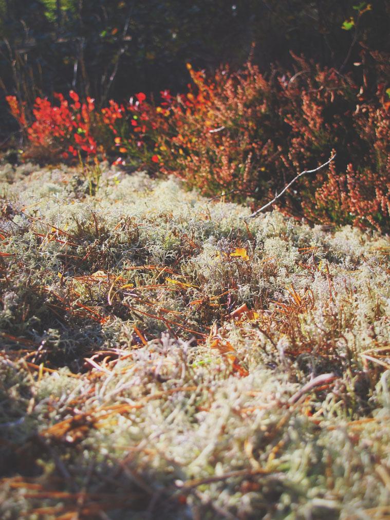lichen suède forêt
