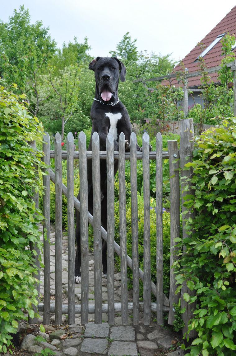 Das 1,20 m. hohe Tor hält die junge Dogge eines zufriedenen Kunden im Garten.
