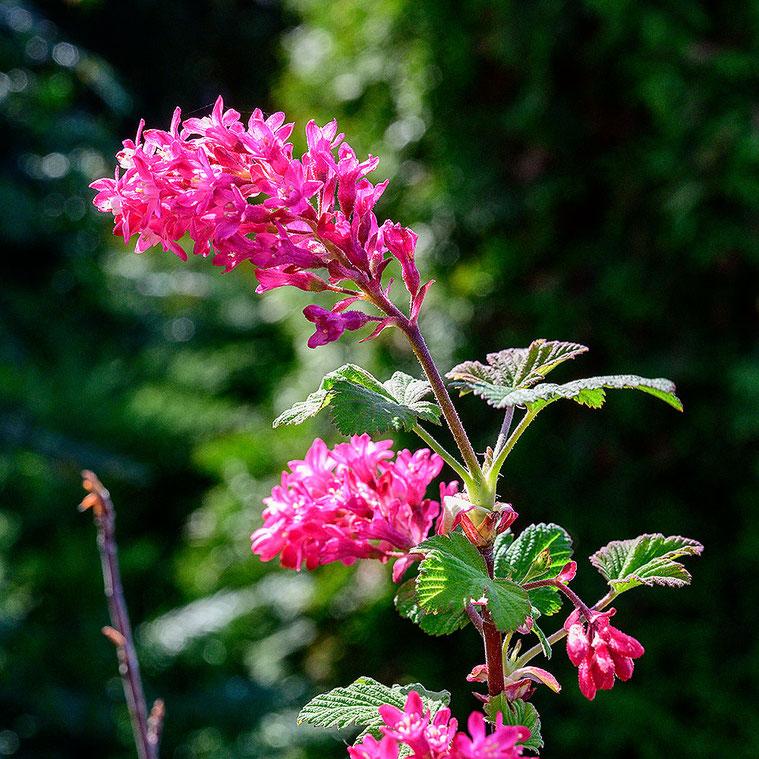 Nahaufnahme Blütendolde, NIKON Z7 mit Z 24-70 mm 1:4 S bei 70 mm und 30 cm Abstand. Foto: Dr. Klaus Schörner