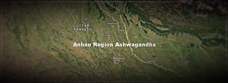 Ashwagandha Anbau