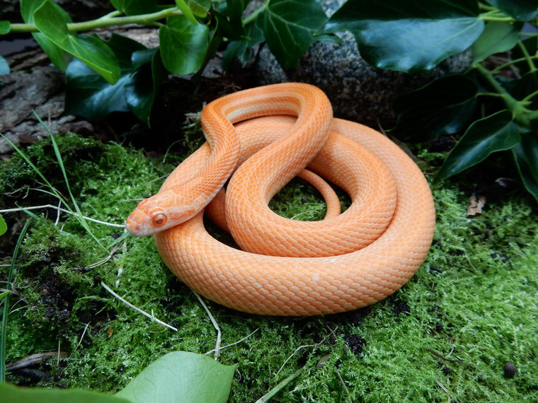 Kornnatter Mandarin Tessera motley~striped