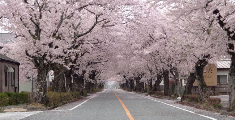 宮本本人が撮影した夜ノ森の桜並木。