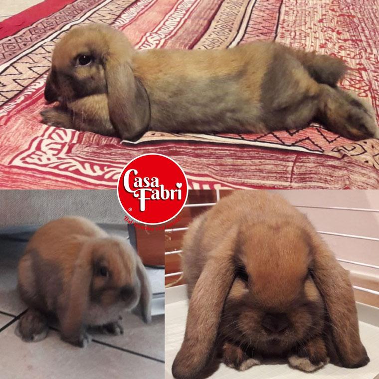 ariete nano siamese minilop mini lop Roma allevamento conigli nani vendita