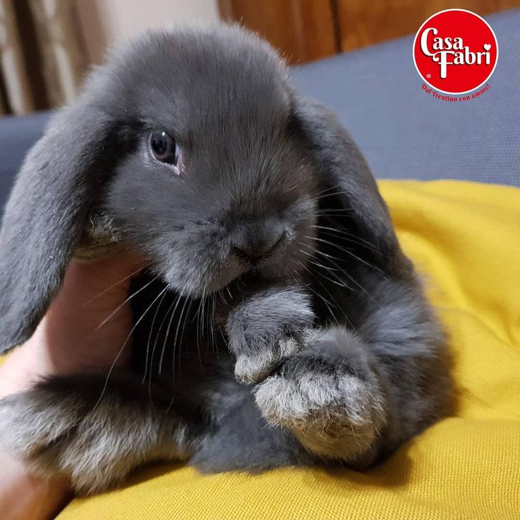 ariete nano siamese minilop mini lop Polonia allevamento conigli nani vendita