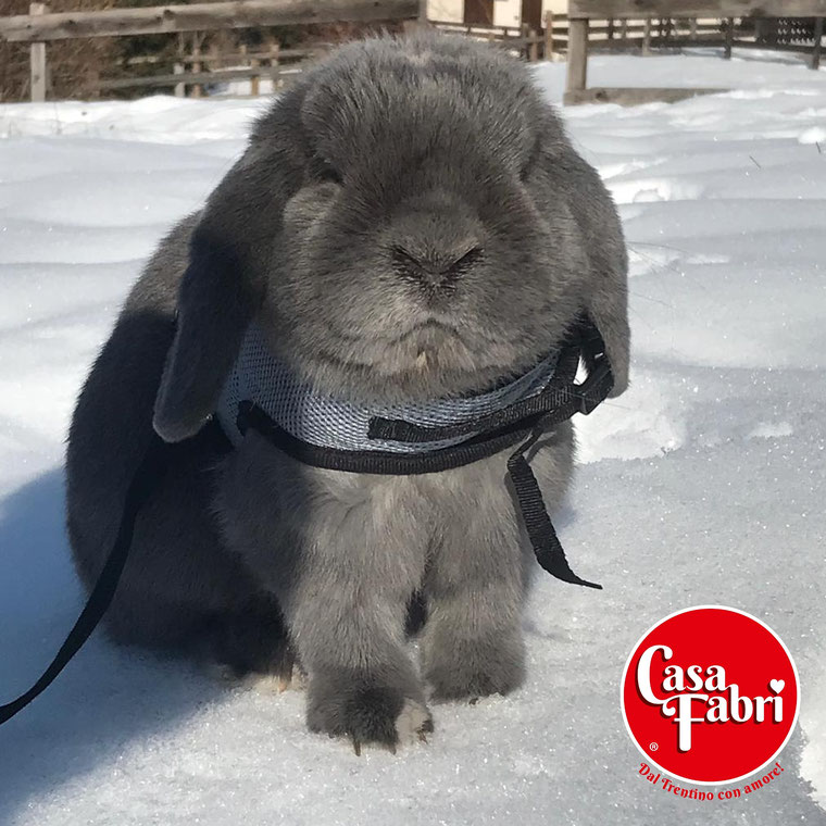 ariete nano siamese minilop mini lop VICENZA allevamento conigli nani vendita