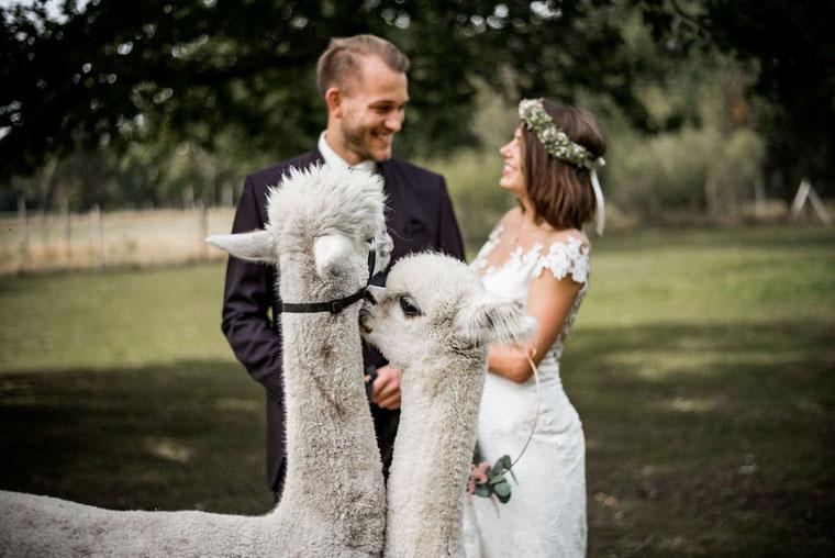 modernes Brautpaar mit weißen Alpakas in Hannover