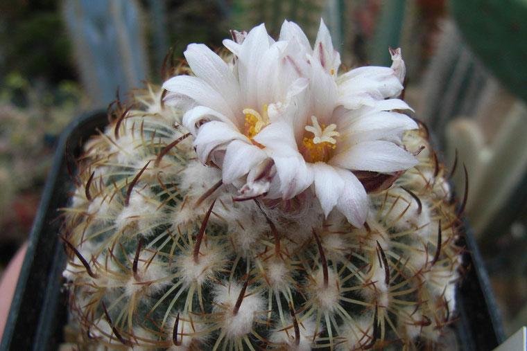 Gymnocactus ysabelle