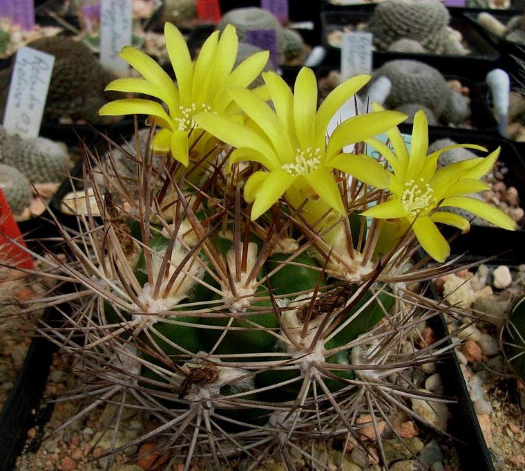 Weingartia pulquiensis
