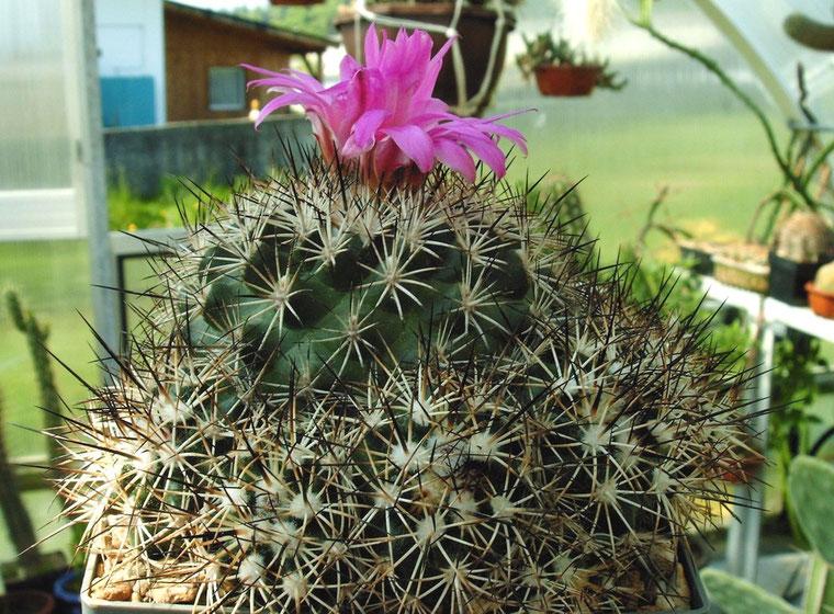 Gymnocactus horripilus- bildet grosse Gruppen!