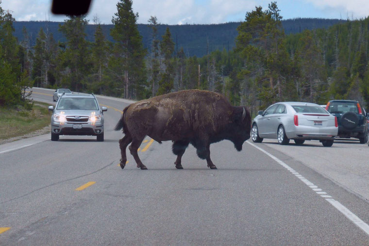 Bison at Yellowstone on the road
