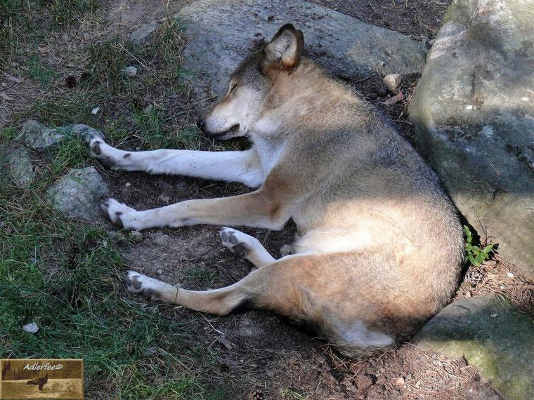 Ruhender, recht gut genährter Wolf im Tierpark Järvzoo
