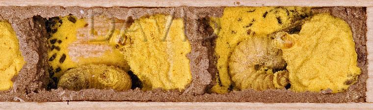 Larvententwicklung der Rostroten Mauerbiene nach 23 Tagen
