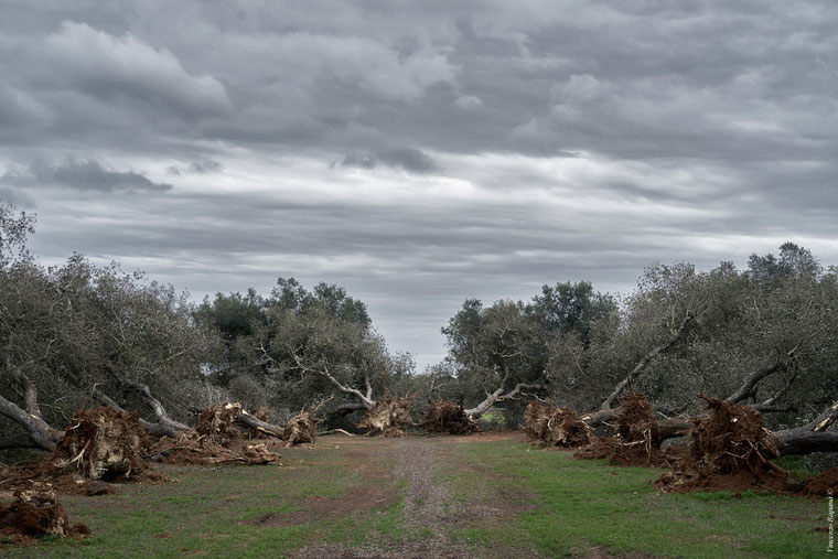 Eradicated Apulian olive trees