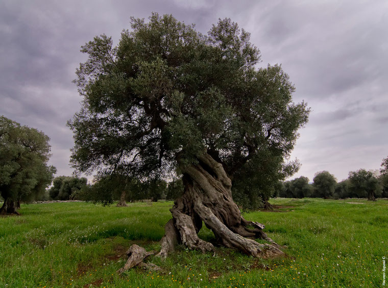 Ancient Apulian olive trees