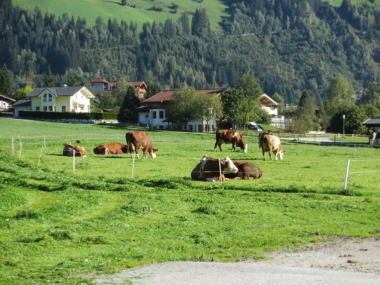 Die Kühe fühlen sich wohl