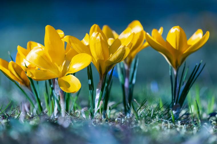 Krokusse auf der Wiese stehen für Veränderung, Neubeginn und Frühling