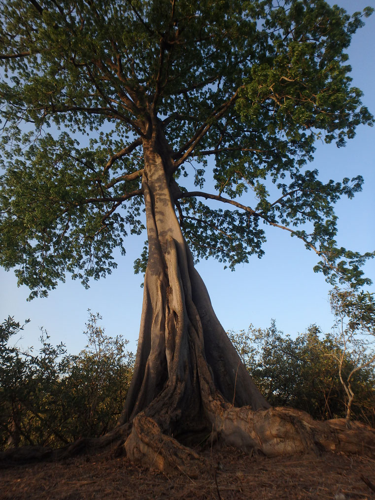 Elephant tree, Tumani Tenda, Gambia