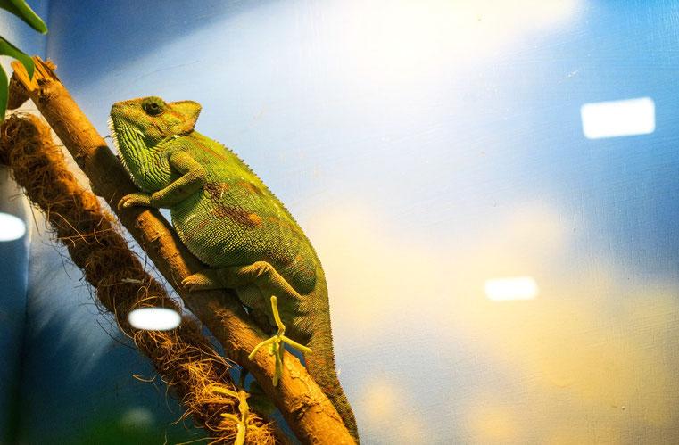 camaleonte veterinari animali esotici milano