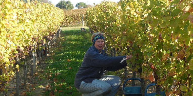 vendange à monbazillac, vins de monbazillac, vins de bergerac, vendange dordogne, vendange périgord, vendange bergerac