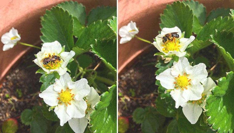 Biene bei der Bestäubung der Erdbeerpflänzchen im Töpfchen auf der Hannoveraner Dachterrasse von Søren Götte