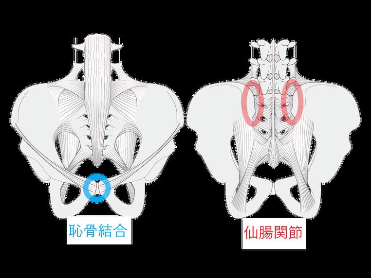 骨盤は強固に固定されている
