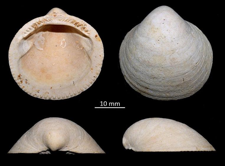 Glycymeris saucatsensis, Miocene dell'Aquitania