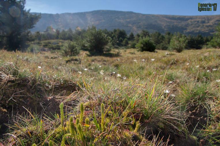 Paisaje de alta montaña de la Sierra de Guadarrama en nacedero de arroyo. En el primer plano se puede ver uno de los helechos más escasos de la Sierra, Lycopodiella inundata y, acompañándole, un cortejo de vegetación característica de prados higroturbosos