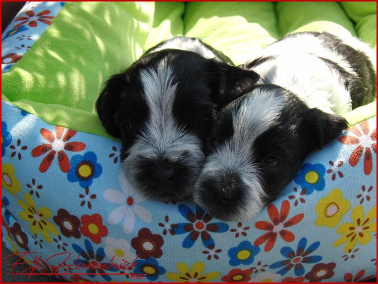 Zwei Welpen in einem bunten Hundebett