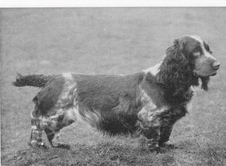 Ein weiteres Beispiel eines Field Spaniels, bei dem man den Einfluss des Bassets deutlich erkennen kann, Foto: David Hancock