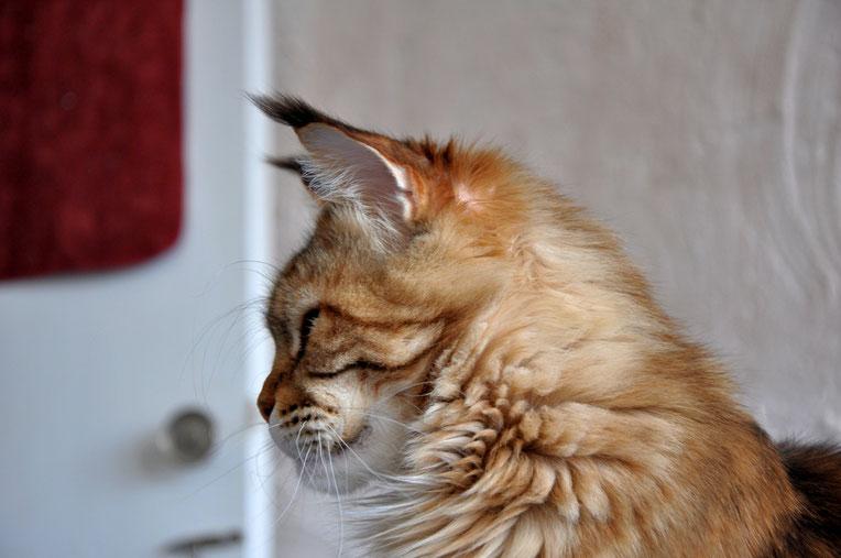 Rascoon Beverly from Sibir кошка мейн кун черная мраморная черепаховая MCO f22